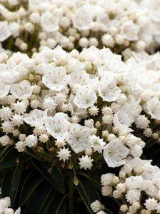 Die Lorberrose / Kalmia ist gut als Kübelpflanze geeignet. Ein paar Dinge sollte man allerdings beachten