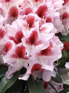 Rhododendron Hybride 'Belami ®' / Rhododendron 'Belami'