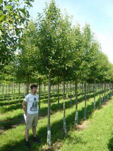 Pyrus calleryana 'Chanticleer' / Chinesische Wild-Birne 'Chanticleer' - sehr gesunde Birnensorte, kann aber auch von Birnengitterrost befallen werden