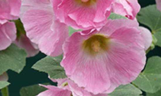 Alcea rosea 'Pleniflora' rosa