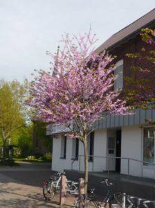 Cercis siliquastrum / Gewöhnlicher Judasbaum / Herzbaum - benötigt in der Jugend Winterschutz