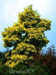 Robinia pseudoacacia 'Frisia' / Goldblatt-Robinie / Gold-Robinie