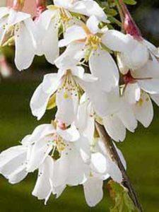 Prunus yedoensis 'Ivensii' / Tokyo-Kirsche 'Ivensii'