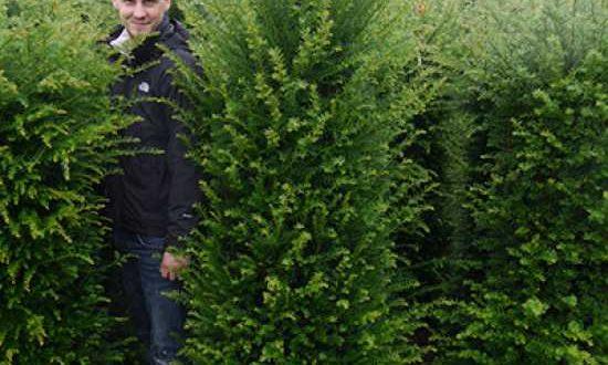 Taxus baccata / heimische Eibe - Rückschnitt am besten im Februar / März oder nach dem 24.6.