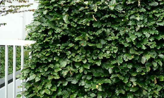 Laubabwerfende Heckenpflanzen - wie bspw. die Rotbuche - ist im Oktober als wurzelnackte Ware verfügbar