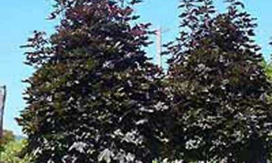 Acer platanoides 'Crimson Sentry' / Spitz-Ahorn 'Crimson Sentry'