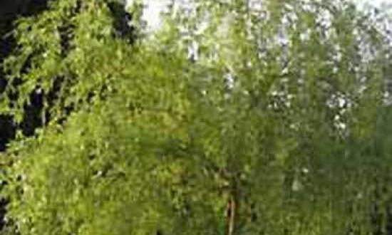 Salix babylonica 'Aurea' / Gelbe Babylonische Trauer-Weide - bildet eher ein flaches Wurzelsystem aus