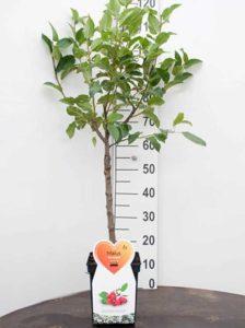 Malus 'Red Sentinel' / Zierapfel 'Red Sentinel' als Stämmchen - gut als Kübelpflanze geeignet
