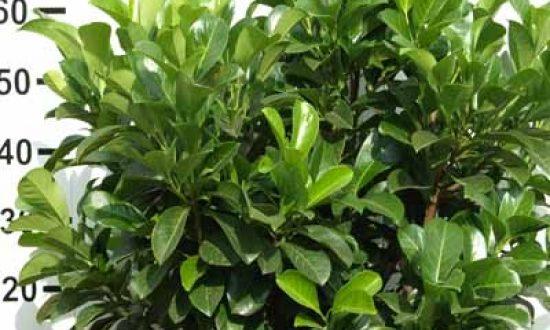 Prunus laurocerasus 'Etna' - bietet kompakten Sichtschutz und dichten Wuchs.