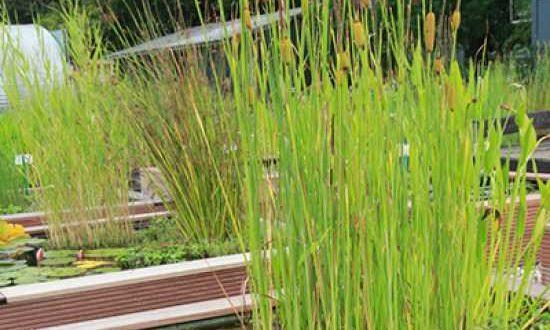 Typha laxmannii / Lockerer Rohrkolben - wächst auch bei Staunässe
