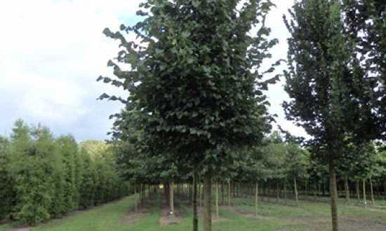 Ulmus 'Dodoens' / Ulme 'Dodoens' - die Krone wächst eher schmal-aufrecht