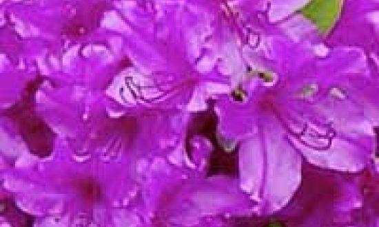 Rhododendron obtusum 'Blaue Donau' / Japanische Azalee 'Blaue Donau'