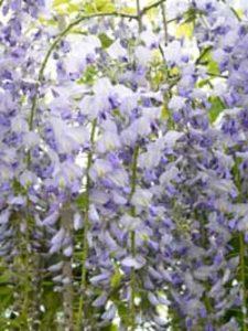 Wisteria / Blauregen - hier der Wisteria floribunda 'Lawrence' / Japanischer Blauregen 'Lawrence' - kann empfindlich auf Spätfröste reagieren