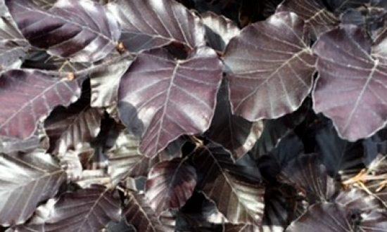Laubabwerfende Heckenpflanzen - wie bspw. die Fagus sylvatica 'Purpurea' / Blutbuche - sind jetzt als wurzelnackte Ware erhältlich