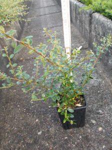 Cotoneaster dammeri 'Coral Beauty' / Teppich-Zwergmispel 'Coral Beauty' - sehr gute Bepflanzung für Hänge und Böschungen