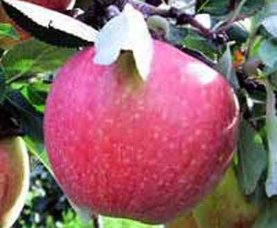 Malus domestica 'James Grieve' / Apfel 'James Grieve' - guter Pollenspender und leckere Apfelsorte