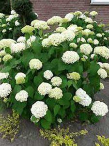 Hydrangea arborescens 'Annabelle' / Schneeball-Hortensie 'Annabelle' - blüht in einem reinweißen Farbton