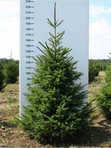 Picea omorika / Serbische Fichte - kommt gut mit trockenen Standorten zurecht