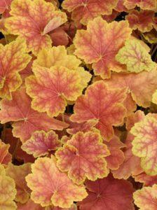 Heuchera 'Tiramisu' / Purpurglöckchen 'Tiramisu' - als Pflanze für ein Hochbeet geeignet