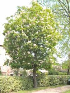 Aesculus flava 'Vestita' / Gelbe Pavie / Gelbe Rosskastanie - wird nicht von der Miniermotte befallen