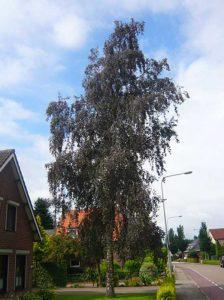 Betula pendula 'Purpurea' / Blut-Birke - verträgt auch sandige Standorte