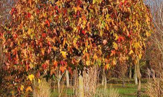 Liquidambar styraciflua 'Gum Ball' / Zwerg-Kugelamberbaum - benötigt in jungen Jahren teilweise etwas Schutz im Winter