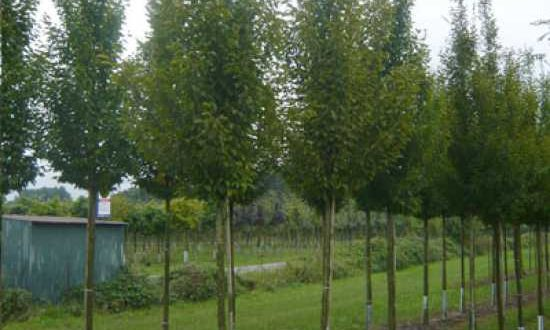 Carpinus betulus 'Fastigiata' / Pyramiden-Hainbuche - ein schöner Allee-Baum