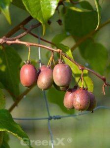 Actinidia arguta 'Weiki ®' / Zwerg-Kiwi 'Weiki' -eine weibiche Kiwi-Sorte, die einen männlichen Befruchter benötigt