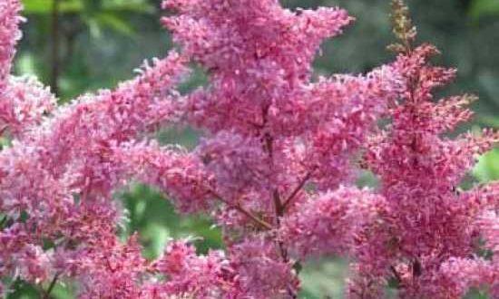 Astilbe / japanische Prachtspiere - gelegentlicher Rückschnitt der vertrockneten Blätter ist machbar