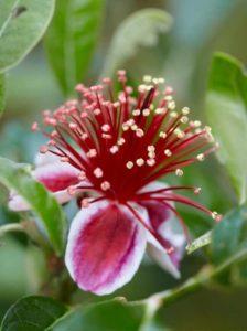 Acca sellowiana / Brasilianische Guave / Ananas-Guave - sollte im Innenbereich überwintern