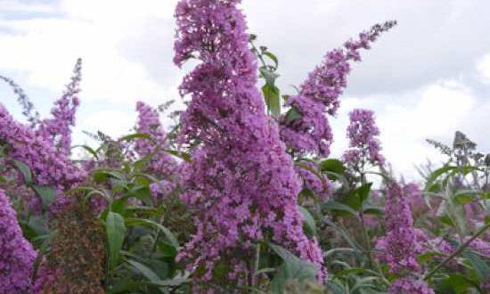 Buddleja davidii 'Pink Delight' / Sommerflieder 'Pink Delight' / Schmetterlingsstrauch 'Pink Delight' - blüht von Juli bis Oktober sehr reichlich