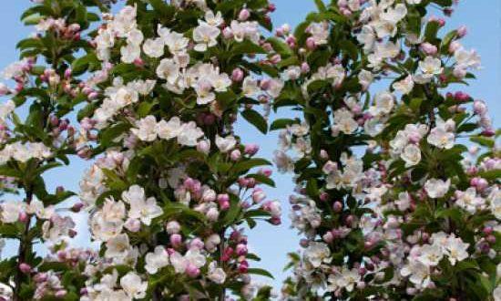 Malus 'Red Sentinel' / Zierapfel 'Red Sentinel' - viele Blüten und reichlich Früchte