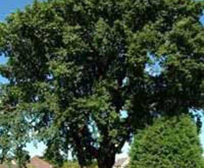Quercus petraea / Trauben-Eiche / Winter-Eiche -wird bis zu 30m hoch und 20 breit