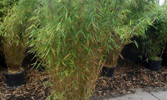 Gartenbambus Fargesia - hier die Sorte Jumbo - ist ungiftig und kann durch Rückschnitt schmal gehalten werden