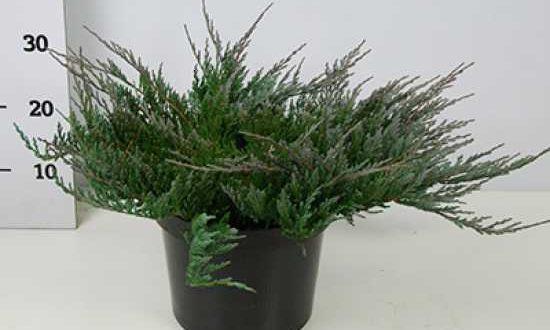 Juniperus horizontalis 'Blue Chip' / Blauer Kriechwacholder - bildet nach zwei bis drei Jahren einen dichten Bewuchs