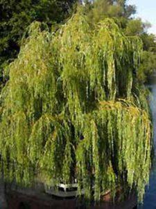 Salix alba 'Tristis' / Hänge-Weide / Trauer-Weide - bietet guten Sichtschutz und wird bis zu 15m hoch