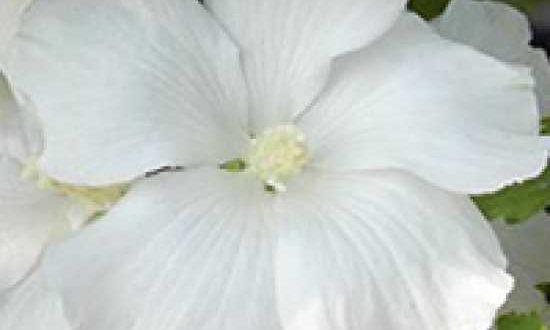 Hibiscus syriacus 'Diana' / Garten-Eibisch 'Diana' - sollte in jungen Jahren am besten vor zu strengem Frost geschützt werden