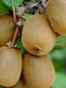 Kiwi Mutua -  eine gute Befruchter-Sorte