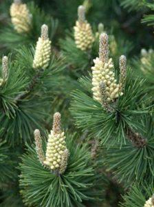 Pinus mugo var. rostrata / Aufrechte Berg-Kiefer - wird ca. 4-7m breit
