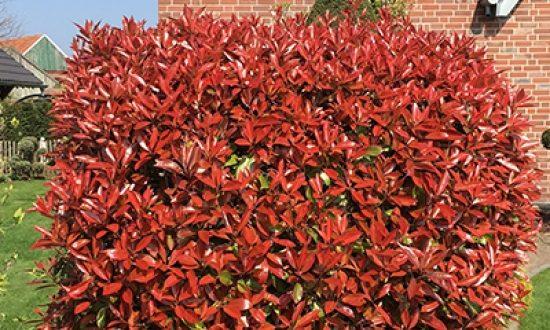 Photinia fraseri 'Red Robin' / Glanzmispel ist eine ungiftige, immergrüne Heckenpflanze