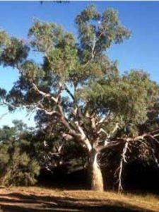Eucalyptus rostrata / Eucalyptus camaldulensis / Roter Eukalyptus / Camaldoli - am besten als Kübelpflanze halten