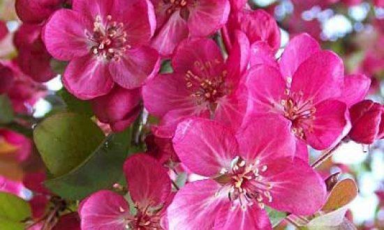 Malus 'Coccinella' / Zierapfel 'Coccinella' - gilt als beste rotlaubige Zierapfelsorte und bekommt tolle Blüten
