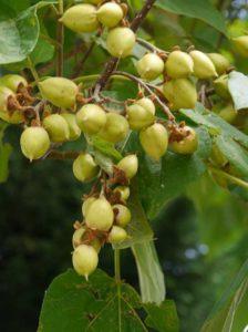Früchte der Paulownia tomentosa ähneln Nüssen und sind nicht zum Verzehr geeignet
