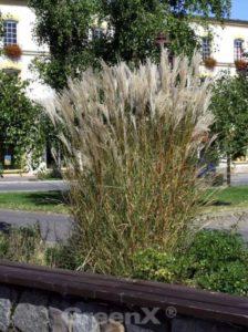 Miscanthus sinensis 'Silberspinne' / Chinaschilf 'Silberspinne' - Pflanzabstand von 70-80cm ist optimal