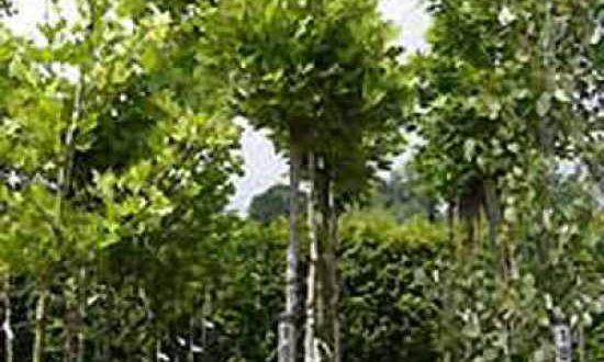 Platanus acerifolia 'Alphen's Globe' / Kugel-Platane 'Alphen's Globe'