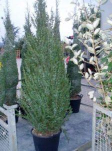 Juniperus communis 'Arnold' / Heidewacholder - eingeschlechtlich und wird über Fremdbestäubung befruchtet