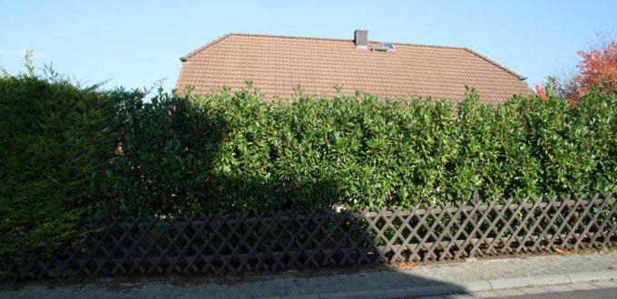Prunus l. 'Caucasica' kann mit regelmäßigem Rückschnitt schmal gehalten werden
