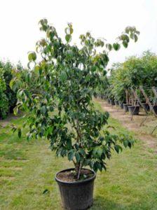 Cornus kousa 'Teutonia' / Japanischer Blumen-Hartriegel 'Teutonia'