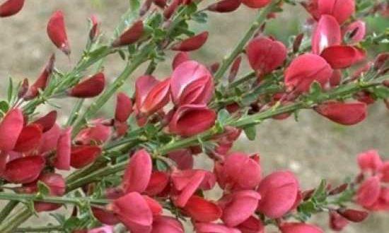 Cytisus scoparius 'Boskoop Ruby' / Besen-Ginster 'Boskoop Ruby' - zur Grabgestaltung aufgrund der Größe eher ungeeignet