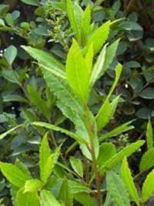 Blätter des Laurus nobilis / Echter Küchenlorbeer / Edler Lorbeer / Gewürzlorbeer sind beliebt für herzhafte Gerichte